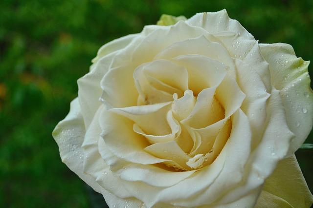 hoa hồng bạch đẹp nhất