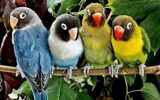 Cara Membedakan Pejantan dan Betina Love bird