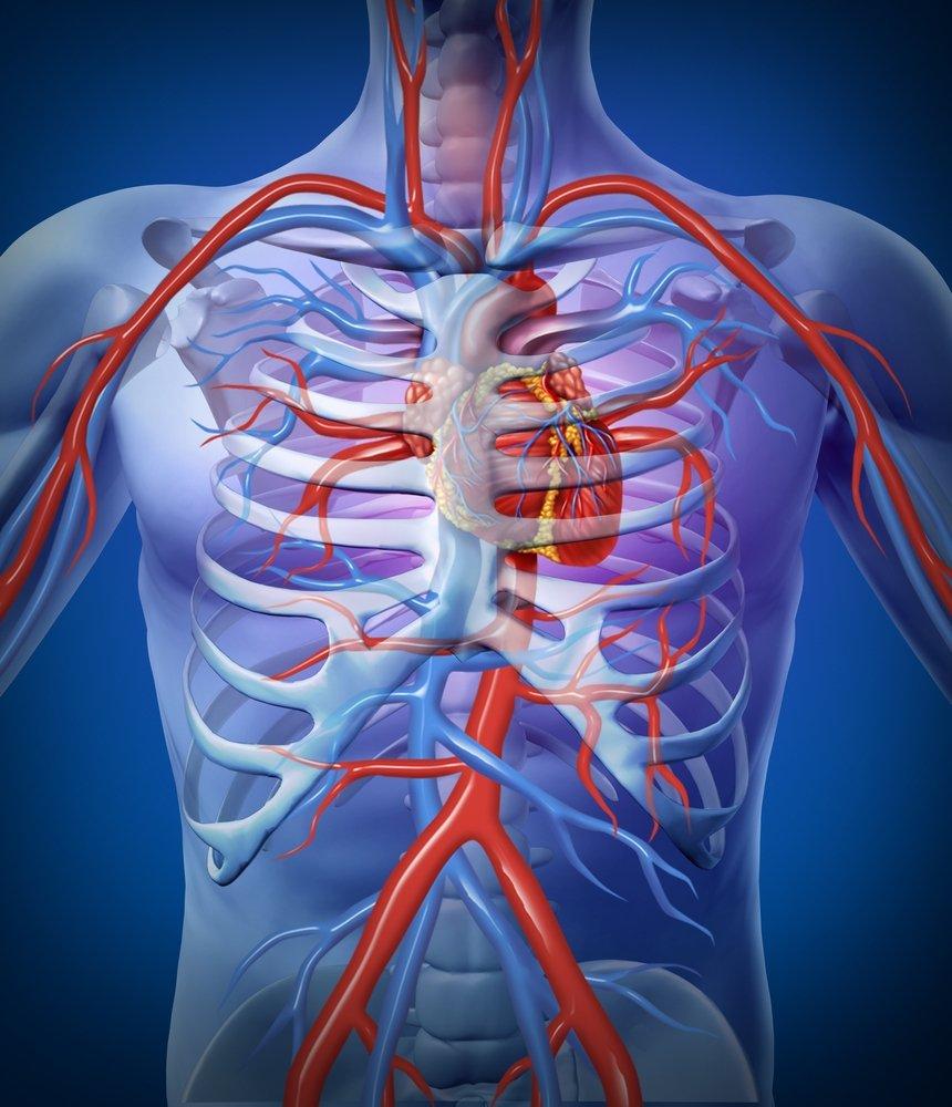Fantástico Ubicación Del Corazón Cuerpo Humano Ilustración ...