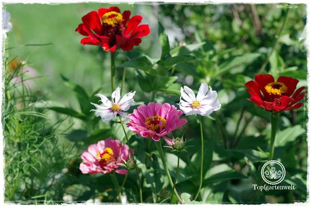 Gartenblog Topfgartenwelt Buchrezension: Knallbunte Beete, Zinnien und Cosmeen