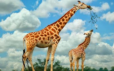 Resultado de imagem para girafa