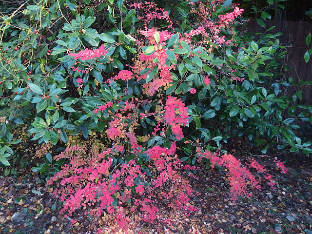 An overall view of Berberis thunbergii 'Gold Ring', due for removal once its finished strutting its autumnal stuff
