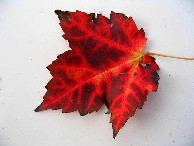 Beautiful Nature HD Wallpaper Red Leaf