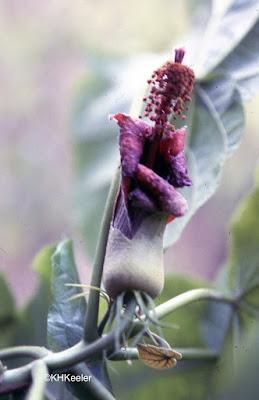 Hibiscadelphus, Hawaii