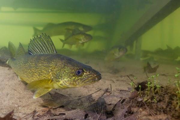 Engbretson Underwater Photography: 5 Walleye Hotspots That ...  Engbretson Unde...