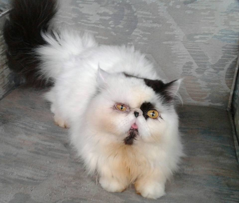 Penyebab bulu kucing rontok dan cara mengatasi bulu kucing ...