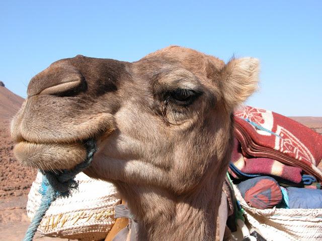 camel Kamel Wüstentrip desert