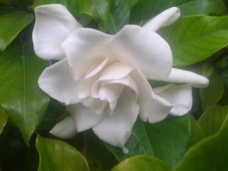 Bunga Jempiring