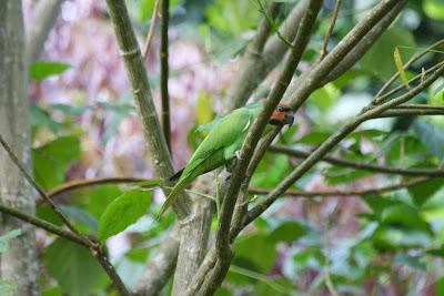 Long tailed parakeet