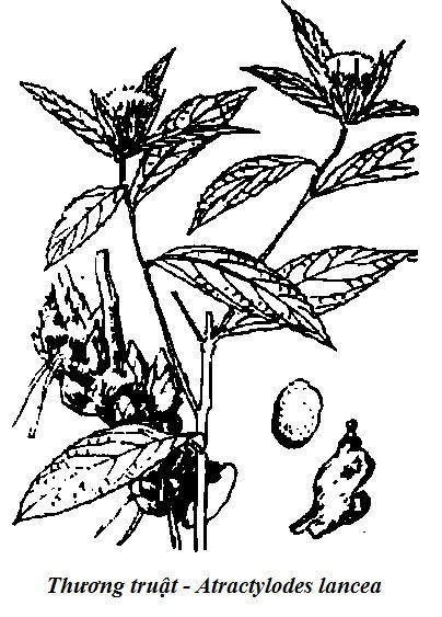 Hình vẽ Thương truật - Atractylodes lancea - Nguyên liệu làm thuốc Chữa Bệnh Tiêu Hóa