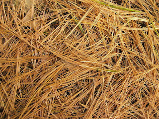 Photo of Pine Needles by Darrell Coomes
