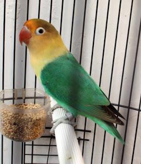 lovebird parblue hijau