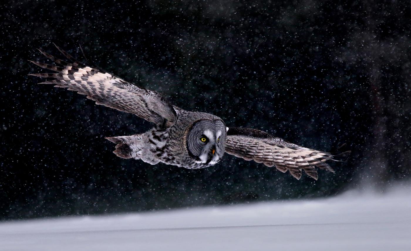 GREAT_GREY_OWL_IN_SNOW%255B1%255D.jpg