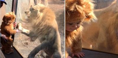 Η απρόβλεπτη συνάντηση ενός μωρού με στολή λιονταριού με ένα πραγματικό λιοντάρι