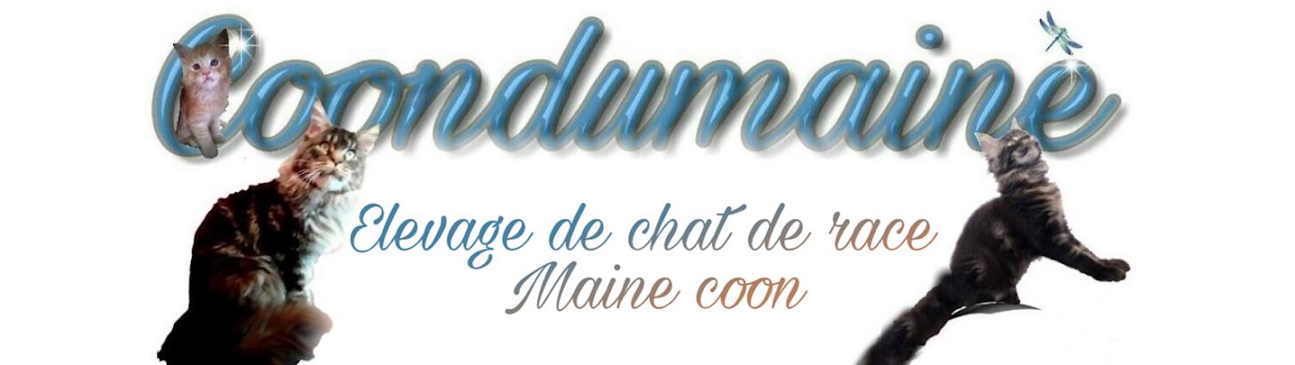Chat De Race Maine Coon En Lorraine Moselle Chaton