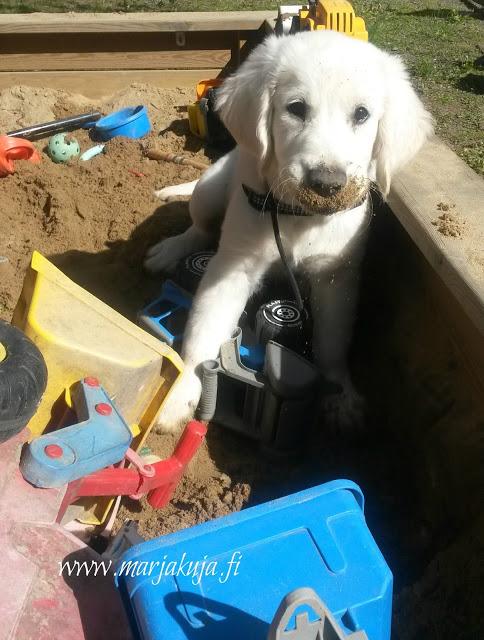 kultainennoutaja kaivaa hiekkalaatikolla