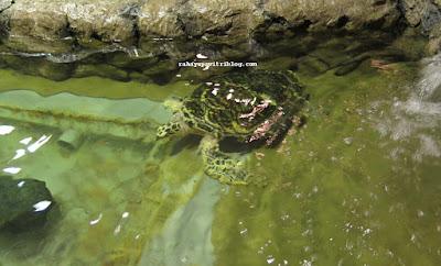DivingRabbit_SeaWorld_Ancol