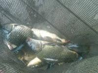 Resep Pembuatan Umpan Untuk Ikan Mas Galatama