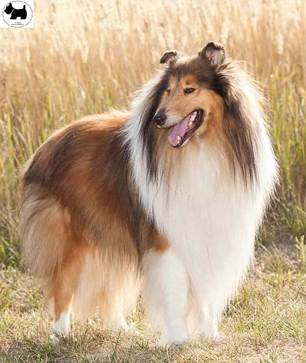 Collie dog,dog information, Dog facts,Best dog Breeds