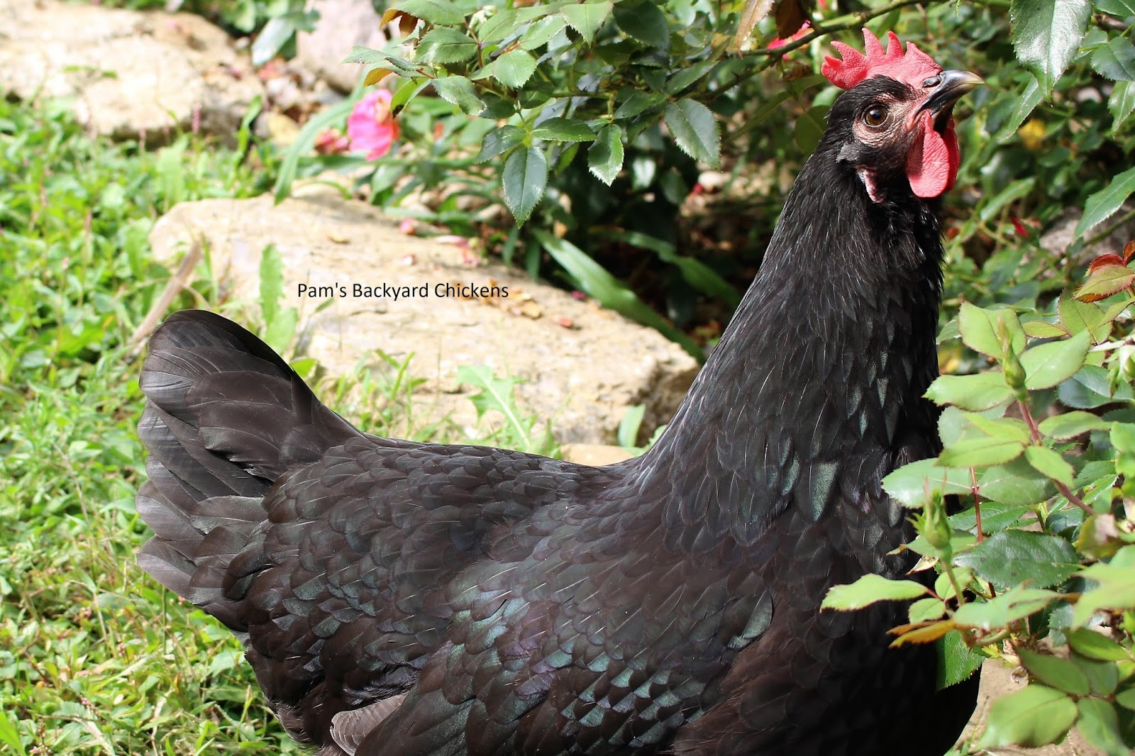 Pam's Backyard Chickens: A Guide to Cold-Hardy Chicken Breeds Dominique Hen Comb