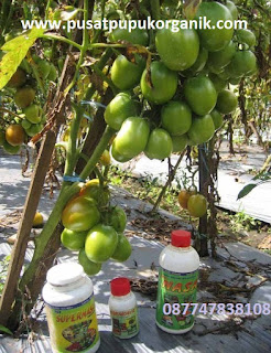 budidaya tomat organik nasa