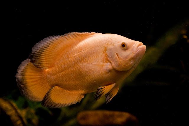 lemon oscar fish - photo #25