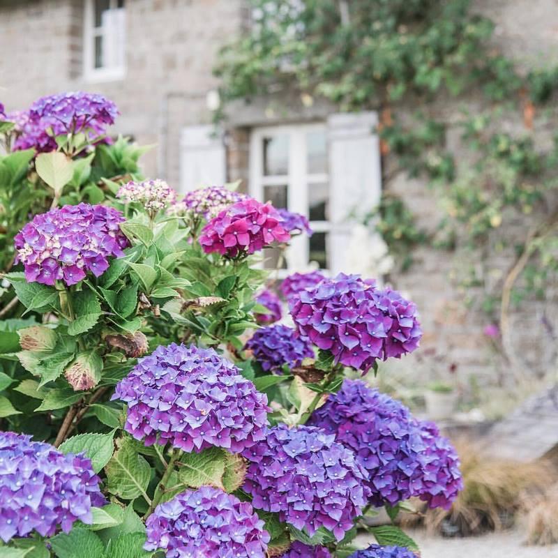 Flores azules de hortensias (Hydrangea)