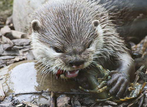 otter eating crayfish