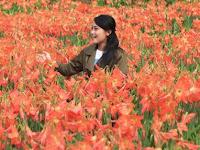Kebun Bunga Amaryllis Mulai bermekaran kembali, Mulai jadi incaran para pemburu foto selfi