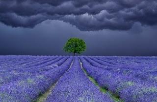 Foto Bunga Lavender Ungu yang Indah 18