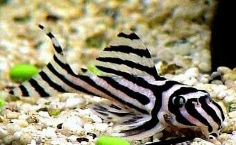 ikan hias air tawar langka