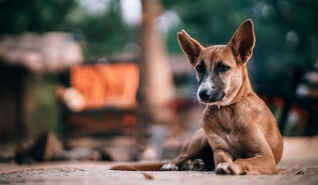 Terapija pasa protiv plućnog crva Panvet blog