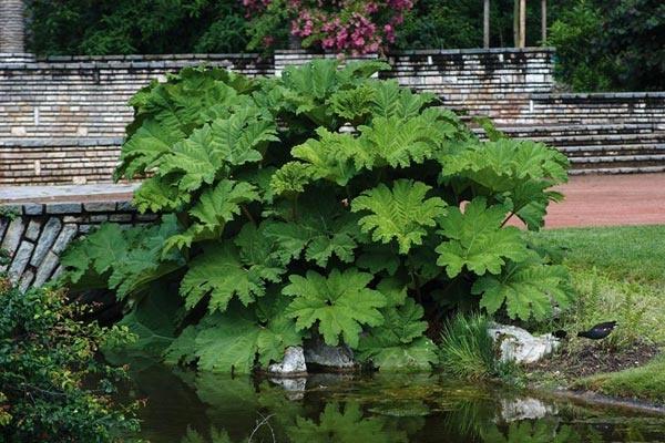 HOW TO PROPAGATE GUNNERA MANICATA The Garden of Eaden
