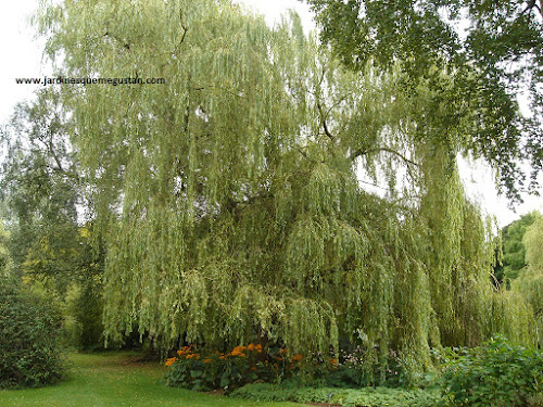 Sauce llorón (Salix babylonica)