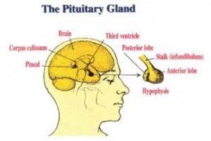Fungsi kelnejar pituitary