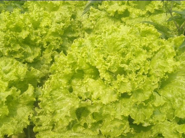 An image of lettuce