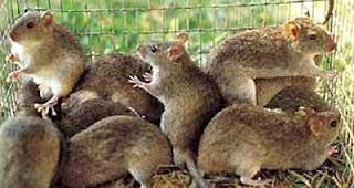 Fotos de ratas dentro de una jaula pequeña
