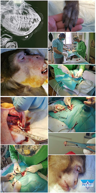 Operacija uklanjanja kamena u pljuvačnoj žlezdi makaki majmuna
