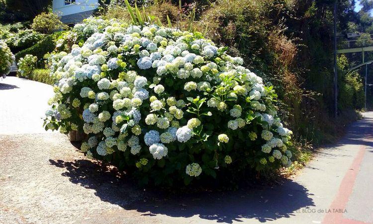 Hortensias en Galicia. Hydrangea macrophylla