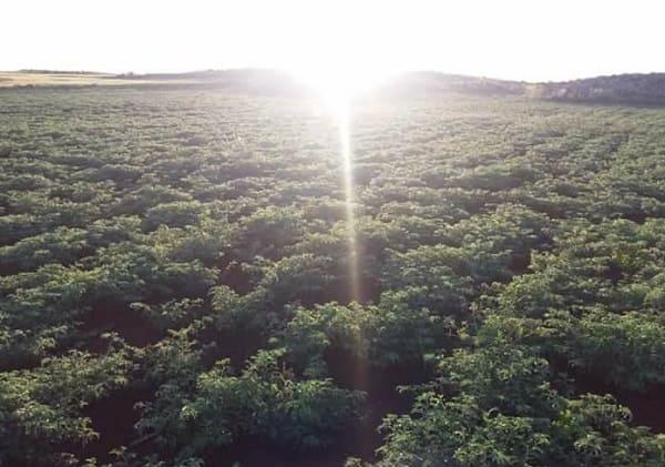 تحسن الحالة العامة لمحصول الحمص بالسويداء جراء الأمطار الربيعية