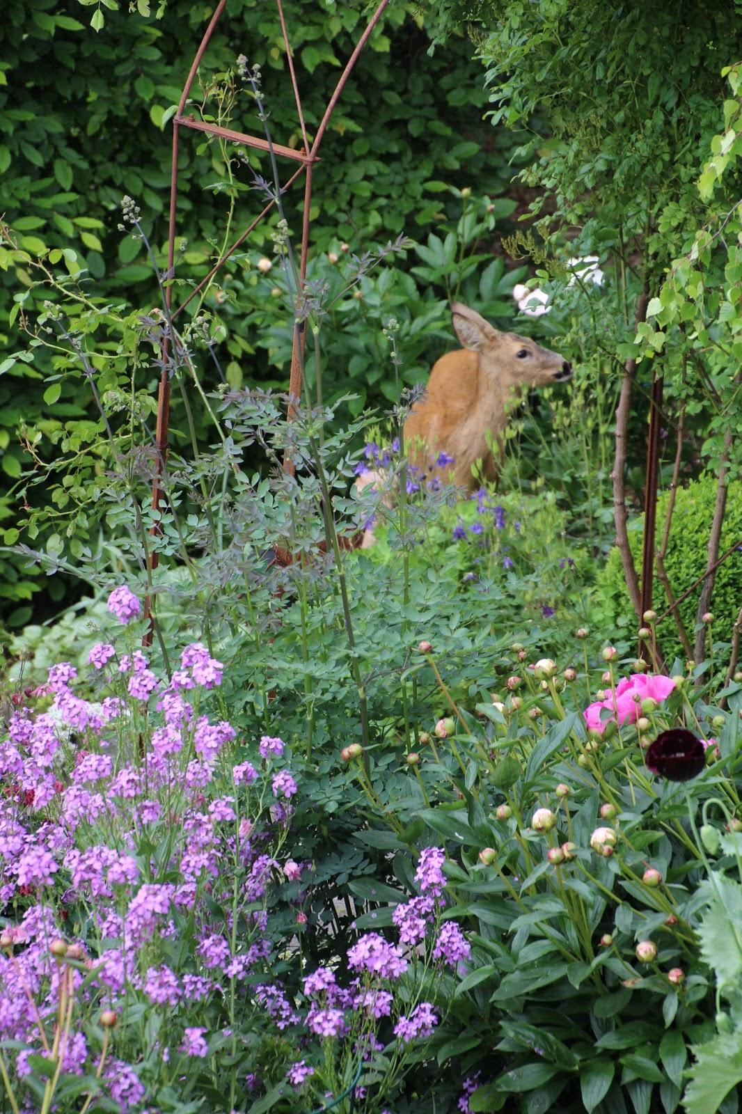rådjur i trädgården