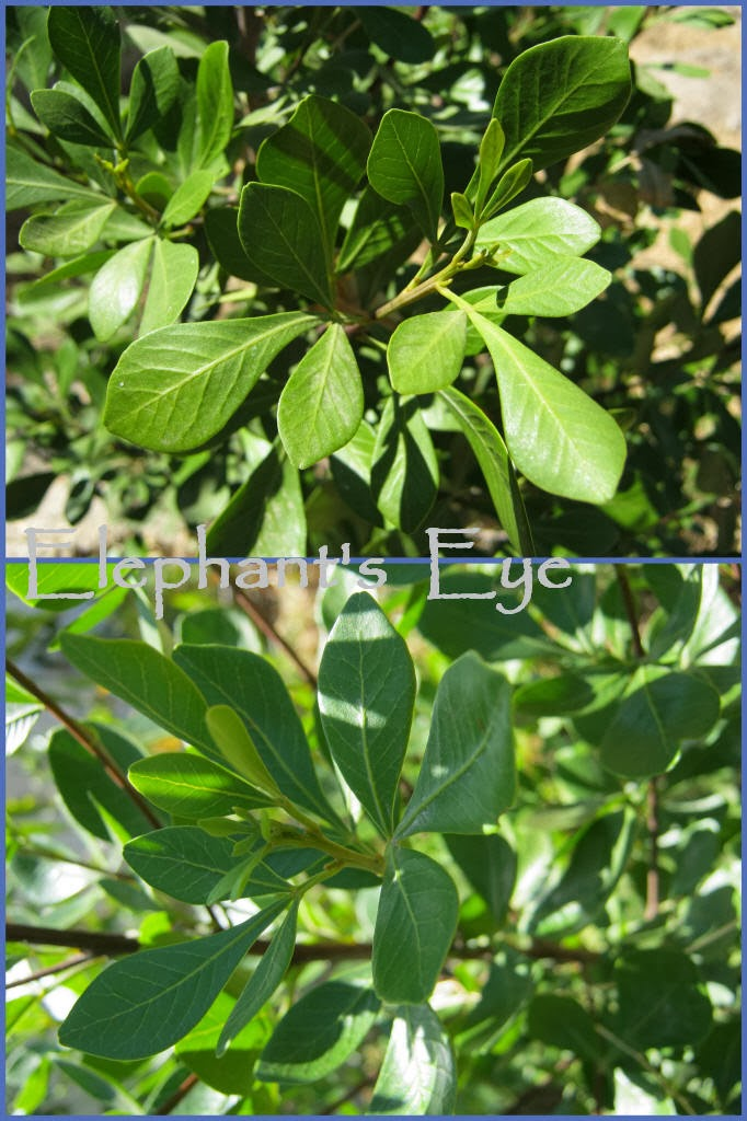 Searsia lucida large shrub