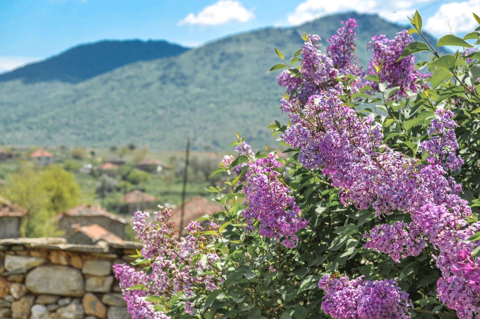 lilac syringa vulgaris macedonia nature. Black Bedroom Furniture Sets. Home Design Ideas