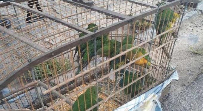 11 aves silvestres são apreendidas pela polícia ambiental