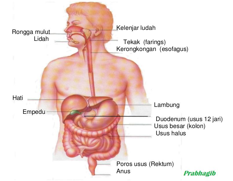Sistem Pencernaan Makanan Pada Manusia Prabha Girindra