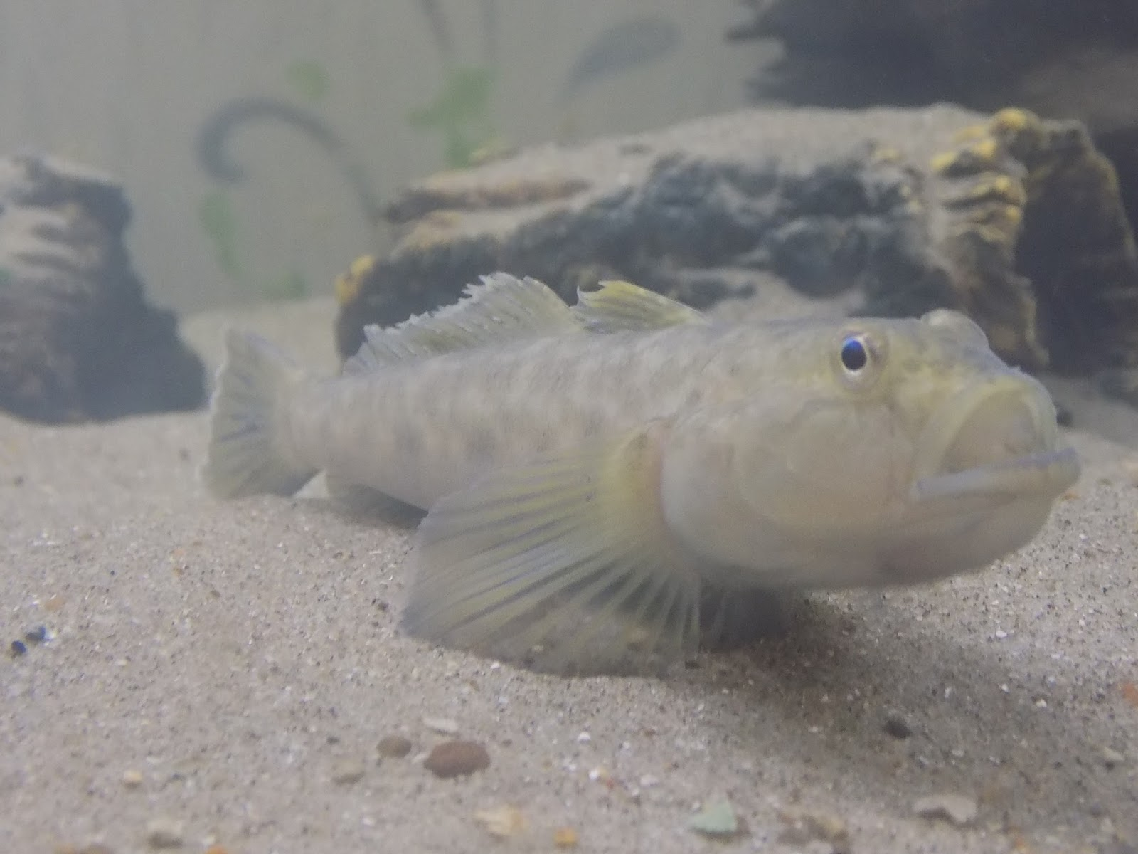 My freshwater goby tank update for Freshwater goby fish