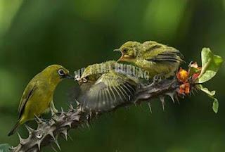 Memilih Makanan Burung Pleci Yang Bagus