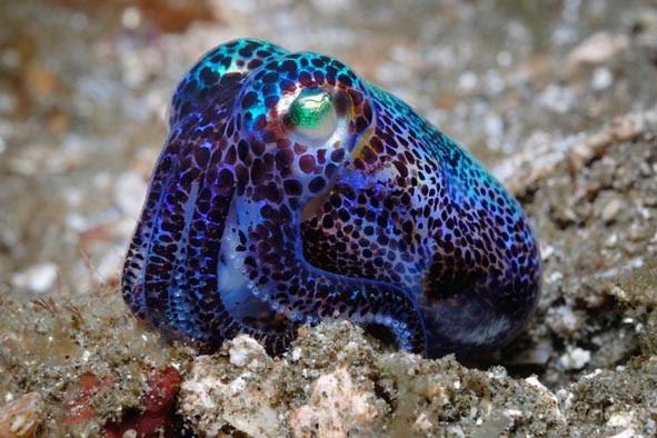 Bobtail Squid | The Life of Animals