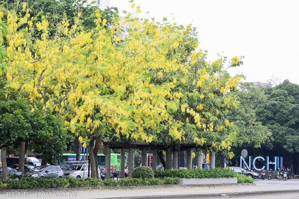 台中南區|2019興大路綠園道阿勃勒|黃金阿勃勒大道|散步賞黃金雨