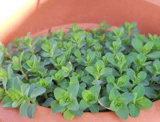 planta de san juan